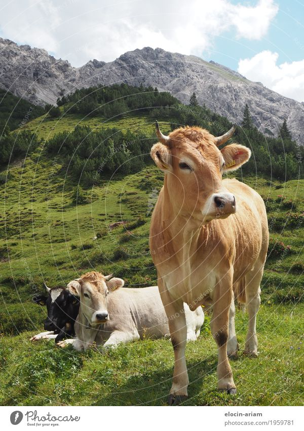 Viele Kühe machen Mühe Ausflug Sommer Berge u. Gebirge wandern Natur Himmel Schönes Wetter Gras Feld Tier Kuh 3 entdecken Erholung Essen stehen authentisch