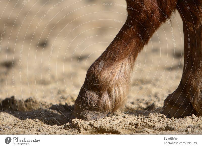 Hoof Tip Tier Nutztier Pferd Fell Beine Zehen Huf Ponys Körperteile 1 Geborgenheit Vorsicht Gelassenheit ruhig Müdigkeit bequem Pause Inspiration Farbfoto