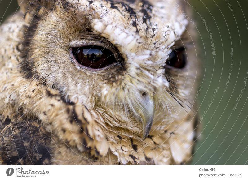 Hindu Halsbandeule Tier Wildtier Vogel Tiergesicht 1 dunkel Neugier braun schön Wachsamkeit einzigartig Konzentration Otus bakkamoena Indien