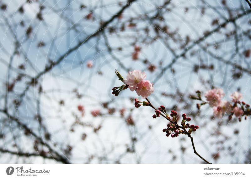 Frühling Natur Himmel Baum Blüte rosa frisch Hoffnung ästhetisch Blühend Duft Schönes Wetter Blütenknospen Neuanfang filigran Frühlingsgefühle