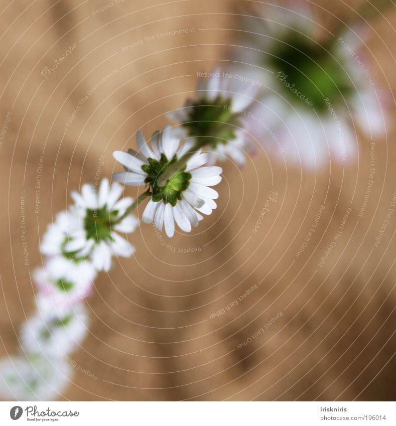 Blümchen an Blümchen an ... Basteln Kinderspiel Natur Pflanze Sand Frühling Sommer Blume Gänseblümchen Halskette Blütenkette Kindheitserinnerung Rückansicht