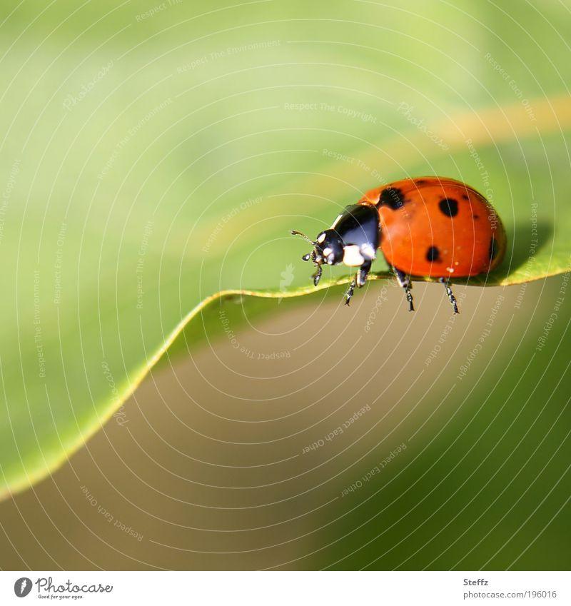 Beine ausstrecken! Marienkäfer Käferbeine Glückskäfer Glücksbringer Glückssymbol dick krabbeln Blattrand klein natürlich niedlich Glückwünsche grün leicht rot