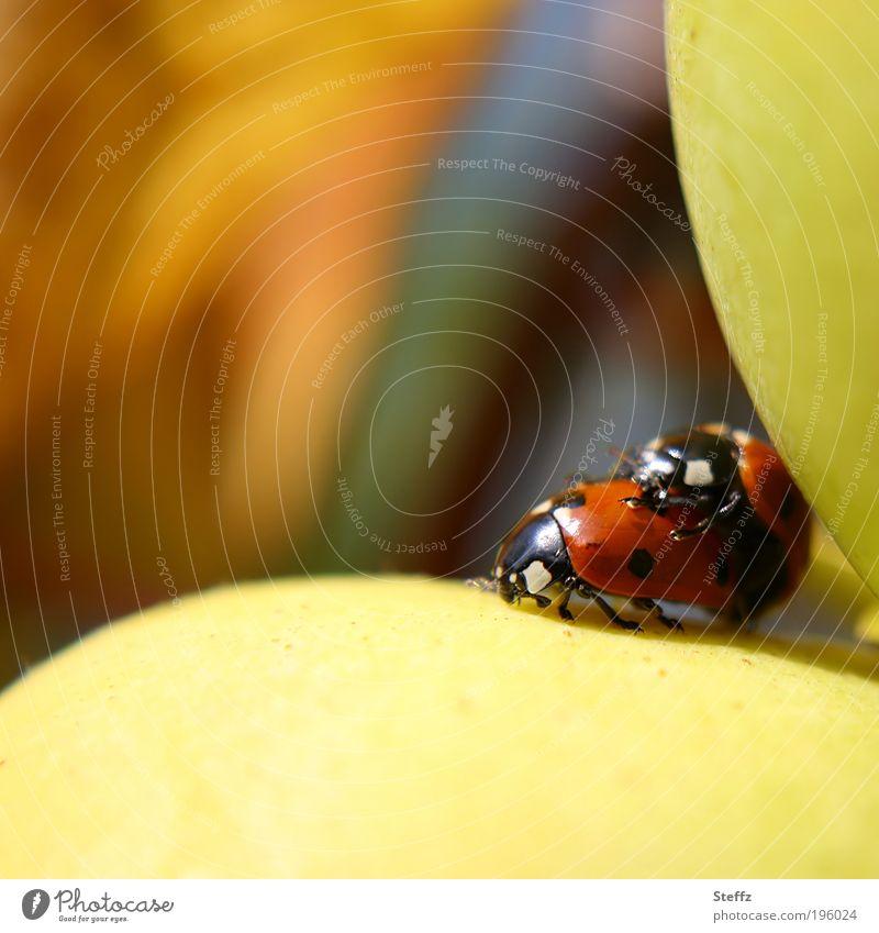 Glücksbringer im Glück Valentinstag Natur Quitte Käfer Marienkäfer 2 Tier Tierpaar klein natürlich gelb Lebensfreude Makroaufnahme Fortpflanzung Herbstfärbung