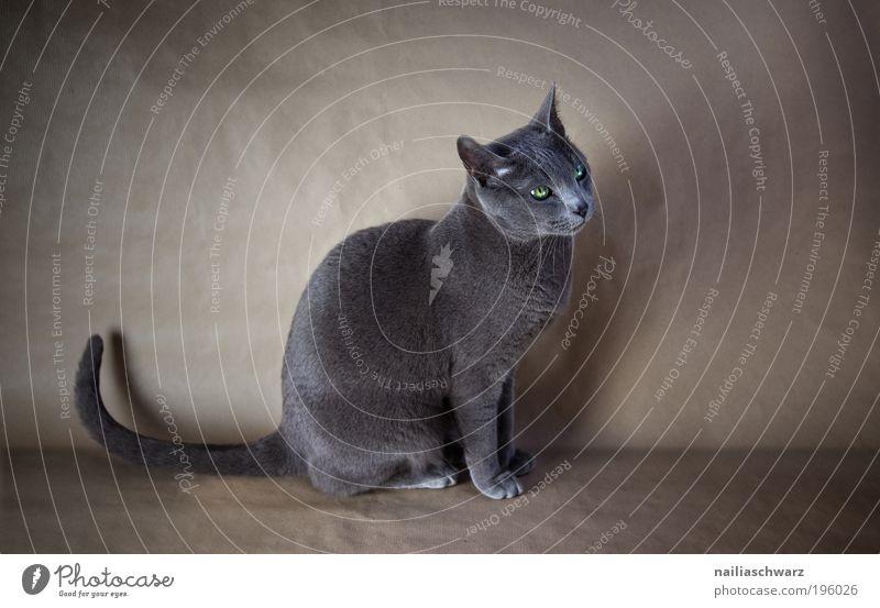 Bonnie Tier Haustier Katze 1 sitzen ästhetisch elegant niedlich Russland blau russisch blau rassekatze reinrassig Farbfoto Gedeckte Farben Innenaufnahme