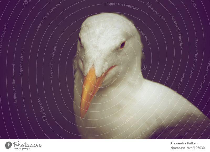 Schneeweißchen weiß schön Tier ruhig Vogel Zufriedenheit Kraft Wildtier elegant ästhetisch Feder Coolness rein Tiergesicht stark Möwe