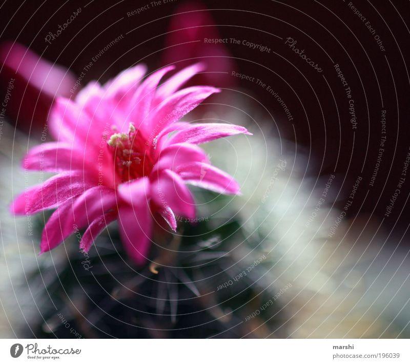 er blüht... Natur Pflanze Blume Kaktus Blüte exotisch Wachstum grün rosa Unschärfe klein stachelig weich Blühend Farbfoto Außenaufnahme