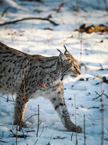 luchs Katze schön Tier Winter Wald Pfote Landraubtier Wildpark Luchs Wildkatze