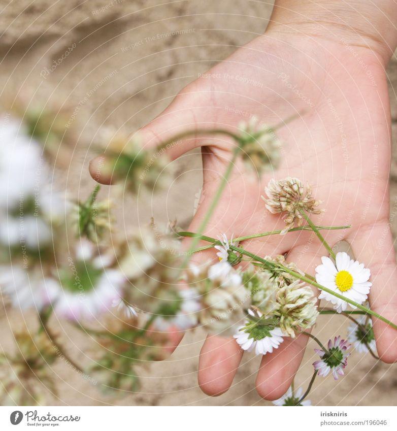Frühling einfangen Hand Finger Pflanze Sand Sommer Blüte Frühlingsgefühle ruhig Kindheit Gänseblümchen Blütenkette Fädelkette werfen Handlinie Klee Kleeblüte