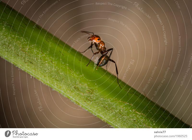 standhaft bleiben Natur Tier Pflanze Stengel Wald Ameise rote Waldameise Insekt 1 krabbeln klein braun grün Mobilität drohen drohend abwehrend Defensive