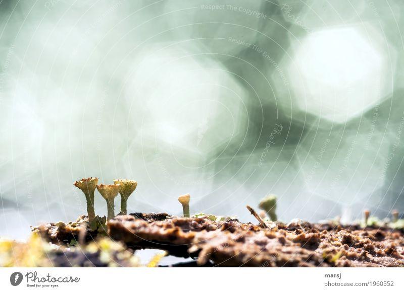 Miniwelt, Natur pur Frühling Sommer Pflanze Moos Wildpflanze Flechten Trompetenflechte Blühend glänzend Erneuerung klein Farbfoto Gedeckte Farben Außenaufnahme