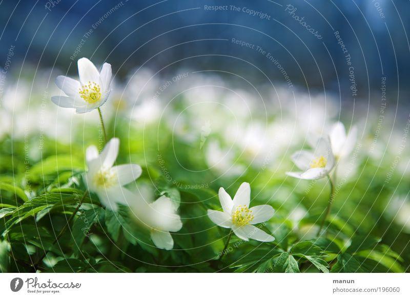 Blauweißgrün Erholung Duft Ausflug Muttertag Umwelt Natur Frühling Schönes Wetter Blume Blüte Wildpflanze Buschwindröschen Anemonen Waldblume Park hell schön