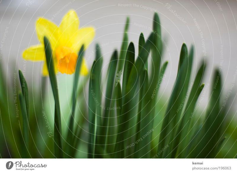 Kleine Sonne Umwelt Natur Pflanze Frühling Schönes Wetter Blume Sträucher Blüte Grünpflanze Topfpflanze Gelbe Narzisse Narzissen Blühend Duft stehen leuchten