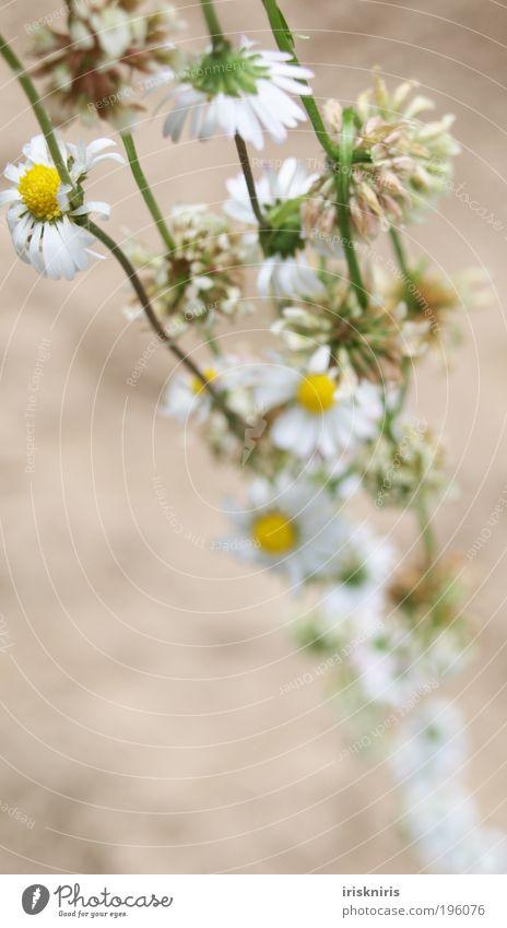 Naturschmuck Kette Blütenkette Gänseblümchen Klee Kleeblüte Schmuck Außenaufnahme Kamille gebunden umhängen schön Romantik Unschärfe Pflanze Kindheitserinnerung