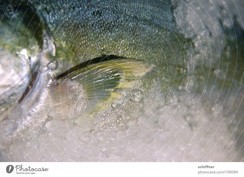 Großmaul on the rocks Tier kalt liegen frisch Ernährung Fisch Nordsee lecker winken schleimig Flosse Schuppen Feinschmecker Forelle Meer Kieme