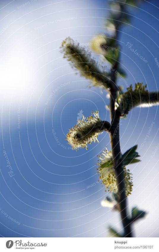 """Baumpuschel""-Weidenkätzchen? Himmel Natur blau weiß Pflanze Blatt Wolken ruhig Erholung Umwelt Landschaft gelb Wiese Leben Frühling"