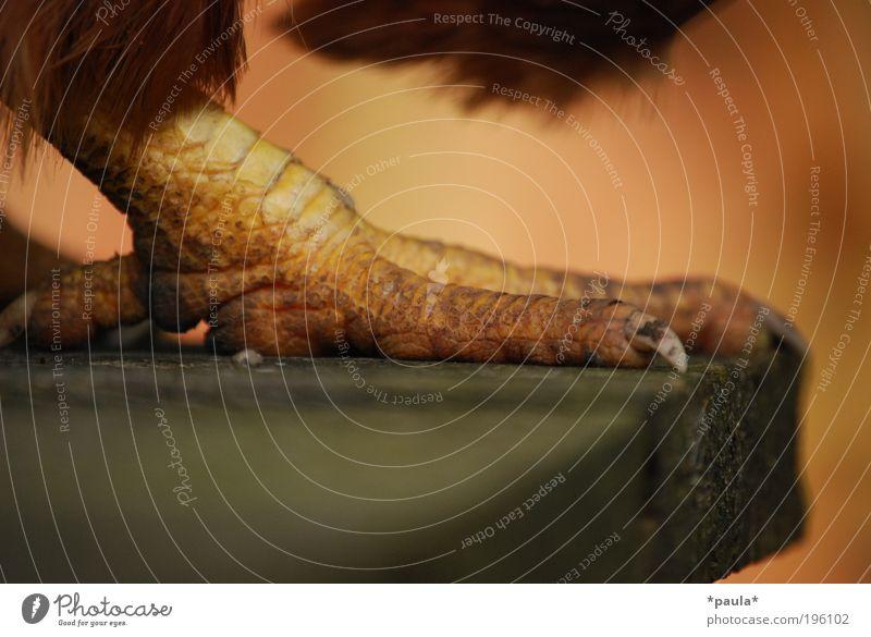 Hühnerfuß Tier Nutztier Vogel Krallen Haushuhn 1 Holz Bewegung gehen stehen bedrohlich dreckig fest natürlich Spitze braun gelb selbstbewußt Kraft Tatkraft