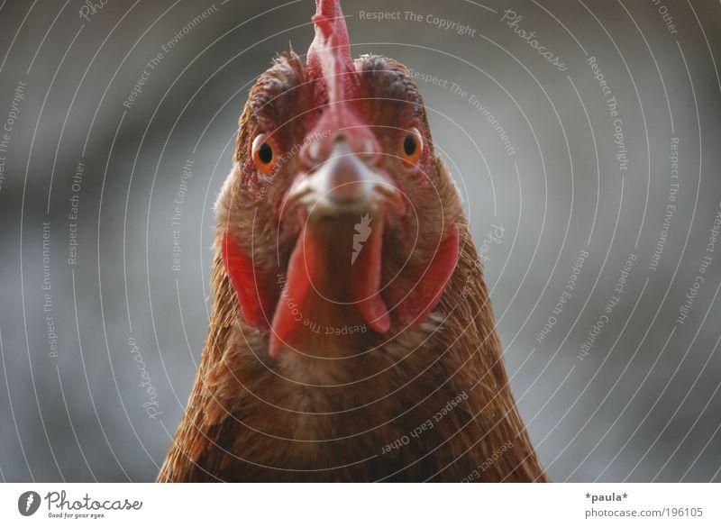 Hühneraugenblick Kopf Tier Nutztier Vogel 1 beobachten Blick außergewöhnlich bedrohlich nah Neugier klug braun rot selbstbewußt Kraft Willensstärke Tierliebe