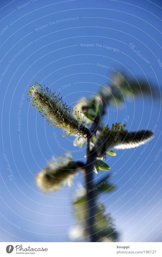 Weidenkätzchen-Teil 2 blau weiß grün Baum Pflanze ruhig Umwelt gelb Wiese Gras Blüte braun gehen Zufriedenheit Wind Erfolg