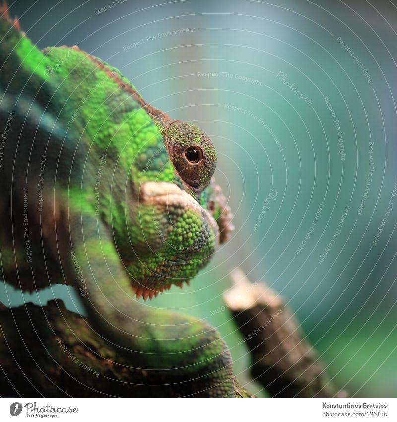 Griesgrämig blau grün Tier ruhig Auge Kopf Beine braun laufen beobachten Neugier Ast nah entdecken greifen Maul