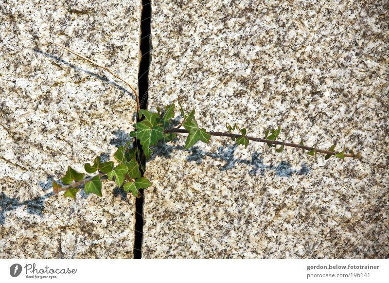 die Natur schlägt zurück! Umwelt Frühling Pflanze Sträucher Efeu Grünpflanze Felsen Mauer Wand Stein Erfolg natürlich grün Kraft anstrengen Farbfoto