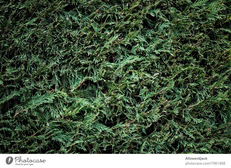 Hecke, grün Natur Pflanze natürlich Garten Park Sträucher Grünpflanze Konifere