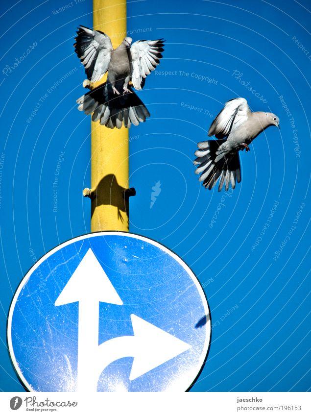 Flugverkehrsregelung blau Tier gelb lustig Vogel Zusammensein Tierpaar Ordnung Verkehr Luftverkehr Gesetze und Verordnungen einzigartig Pfeil skurril Mobilität
