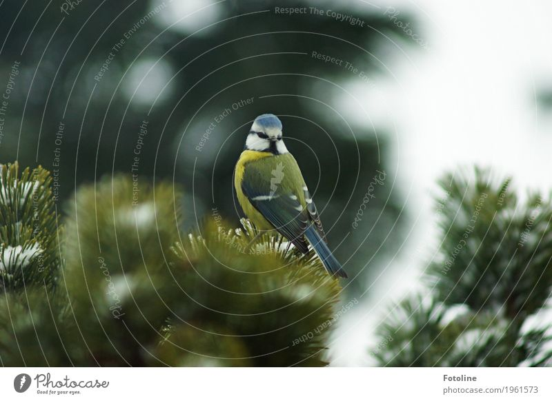 Nicht doch irgendwo ein Körnchen? Umwelt Natur Pflanze Tier Winter Baum Vogel Tiergesicht Flügel 1 frei hell klein natürlich blau grün weiß Meisen Blaumeise