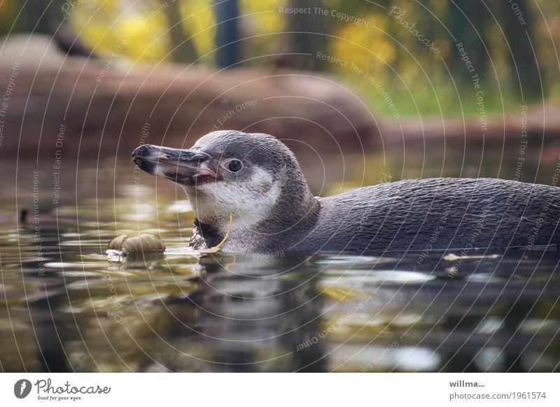 hey! Tier Wildtier Pinguin Humboldt-Pinguin Schwimmen & Baden Tierliebe Tierjunges Schnabel Farbfoto Außenaufnahme Tierporträt