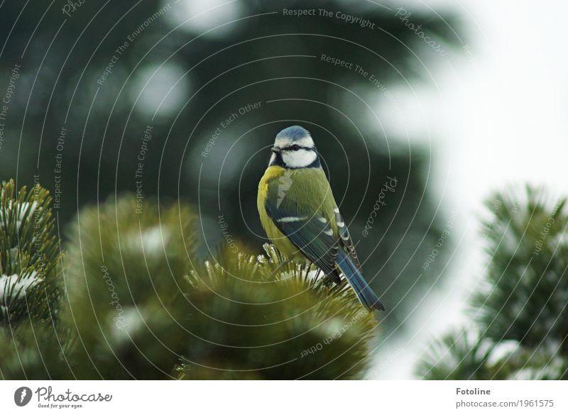 Tschiiiiiiiiiiiiiep! Umwelt Natur Pflanze Tier Winter Baum Wildtier Vogel Tiergesicht Flügel 1 frei klein nah natürlich blau grün weiß Blaumeise Meisen Tanne
