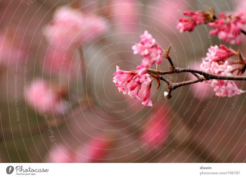 Neulich im Park Umwelt Natur Pflanze Frühling Baum Sträucher Blüte Blühend Duft natürlich schön rosa Frühlingsgefühle Leben Ast Farbfoto Außenaufnahme