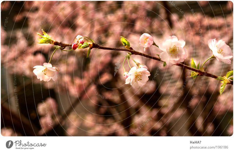 Gleaming Spring Natur Pflanze Sonnenlicht Frühling Schönes Wetter Baum Blüte Kirschblüte braun grün rosa Farbfoto mehrfarbig Außenaufnahme Nahaufnahme