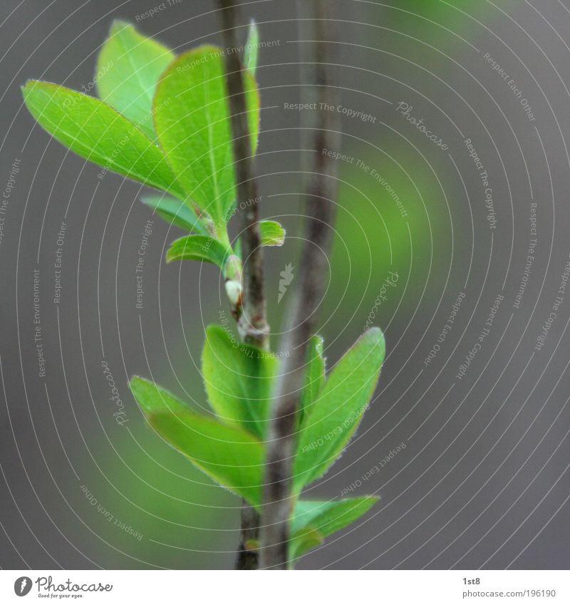 the same procedure.... Natur alt Baum Pflanze Blatt Umwelt Frühling Wachstum Sträucher Duft atmen Blütenknospen Blattknospe Grünpflanze Blattadern Wildpflanze