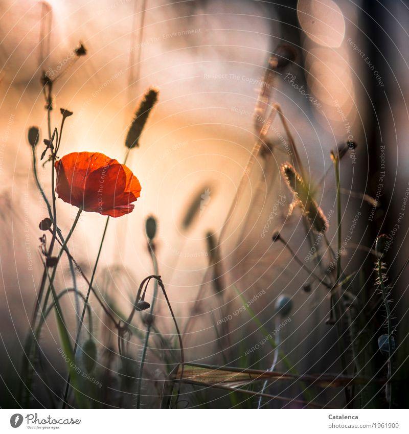 Mohntag schon wieder Natur Pflanze Himmel Sonnenaufgang Sonnenuntergang Sommer Schönes Wetter Klatschmohn Wiese Blühend leuchten ästhetisch braun grün orange