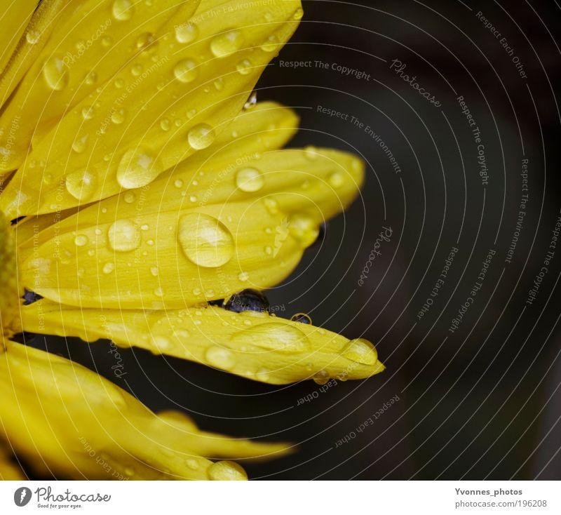 Rainy days Natur Wasser Blume Pflanze gelb Herbst Blüte Frühling Glück Regen Zufriedenheit glänzend Wetter Wassertropfen nass gold