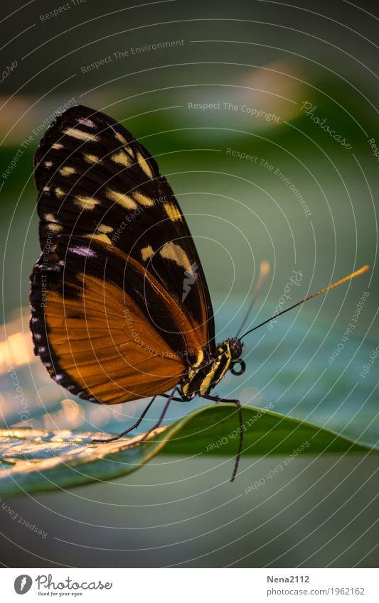 Schmetterlinge Umwelt Natur Tier Luft Frühling Sommer Schönes Wetter Pflanze Blatt 1 braun orange zerbrechlich klein tropisch Farbfoto Nahaufnahme