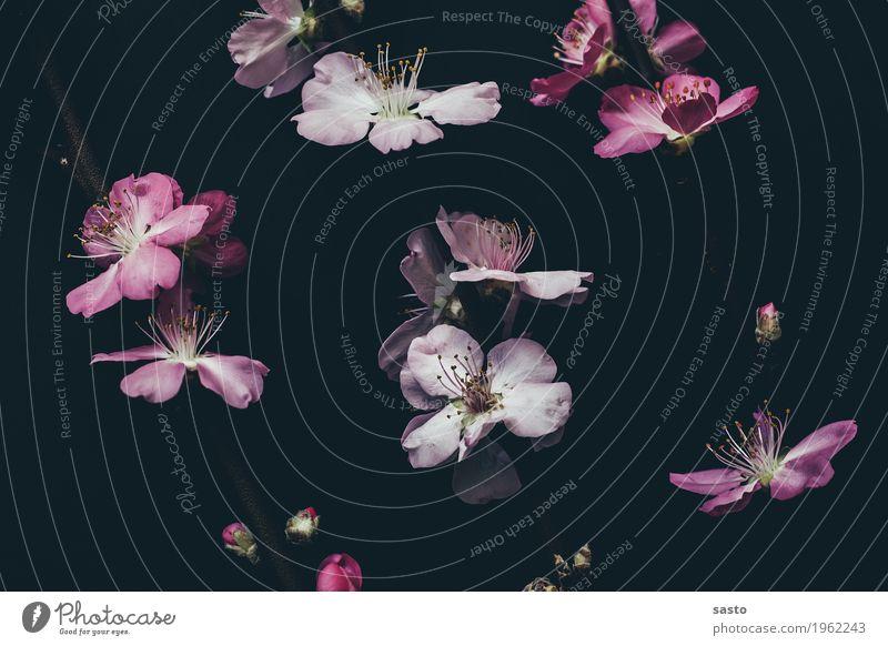 Vorboten des Frühlings Pflanze Blüte ästhetisch Duft elegant Fröhlichkeit schön rosa schwarz Freude Frühlingsgefühle Vorfreude Beginn Kirschblüten Stillleben
