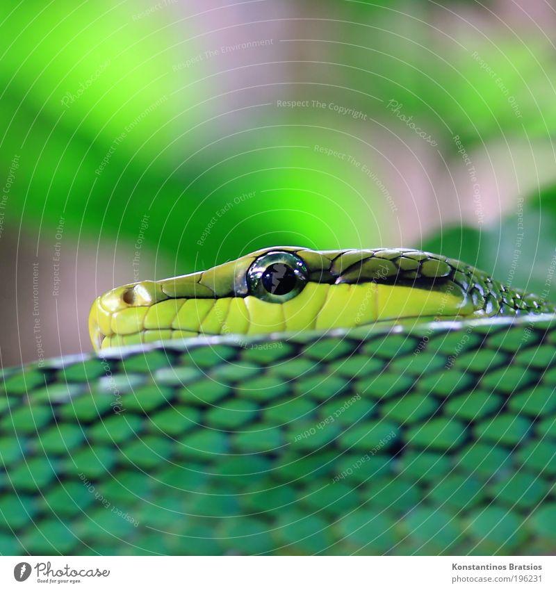Eyecatcher Baum grün schwarz Auge Tier Kopf grau Angst Sträucher nah liegen beobachten Spitze Wildtier Glätte Schlange