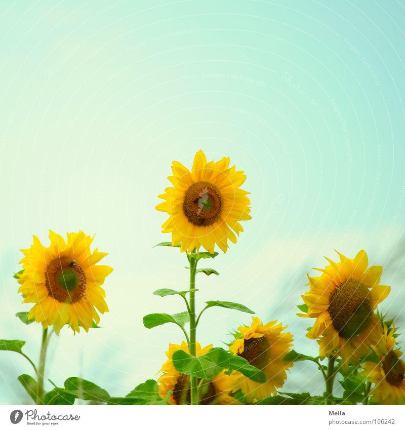 summer breeze Umwelt Natur Pflanze Sommer Blume Blüte Sonnenblume Blühend Fröhlichkeit trendy natürlich positiv retro blau gelb Lebensfreude Optimismus