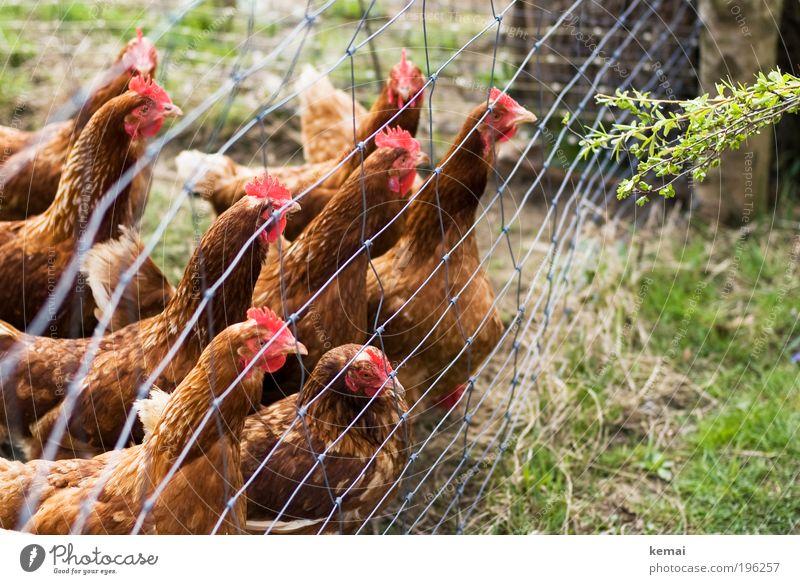 Hunger-Hühner Natur Erde Frühling Schönes Wetter Pflanze Gras Sträucher Grünpflanze Wildpflanze Dorf Zaun Tier Nutztier Tiergesicht Flügel Haushuhn Henne Feder