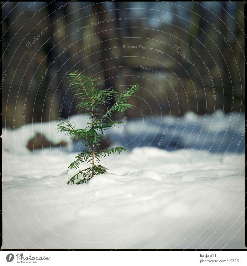 snowtree Natur weiß Baum grün Pflanze Winter Wald Schnee dünn Tanne Grünpflanze Mittelformat Licht