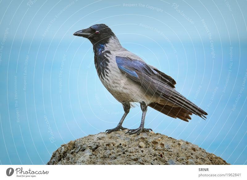 Krähe auf dem Stein Tier Vogel wild Schnabel Geldscheine Ornithologie Sperlingsvögel