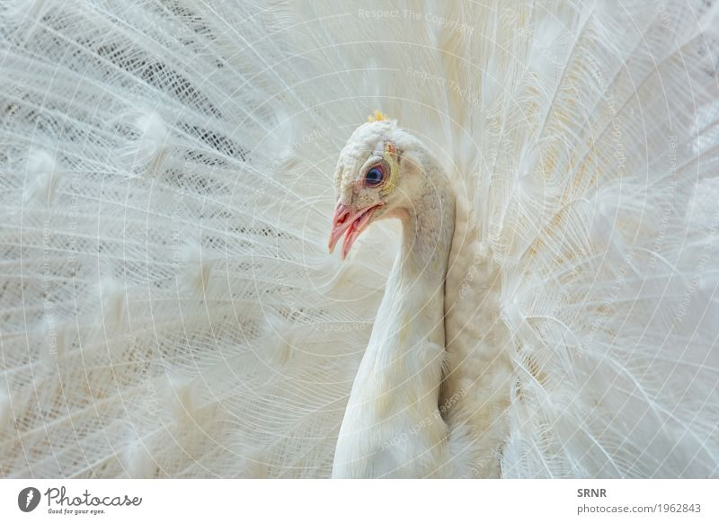 Portrait des weißen Pfaus Tier Vogel 1 wild Vogelwelt Festakt Balzritual verdeckte Federn extravaganter Schwanz Pavo Gefieder Leitwerke weißer Pfau