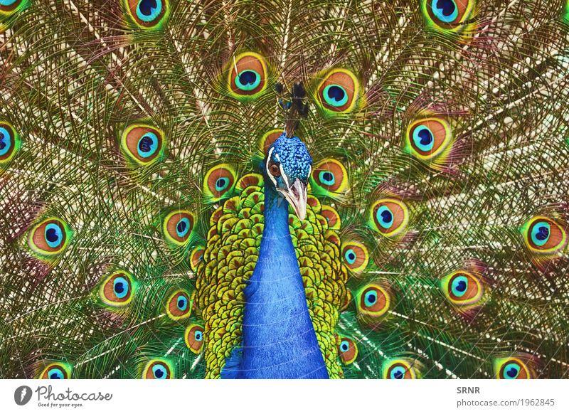 Porträt von Pfau Tier Vogel wild Feder