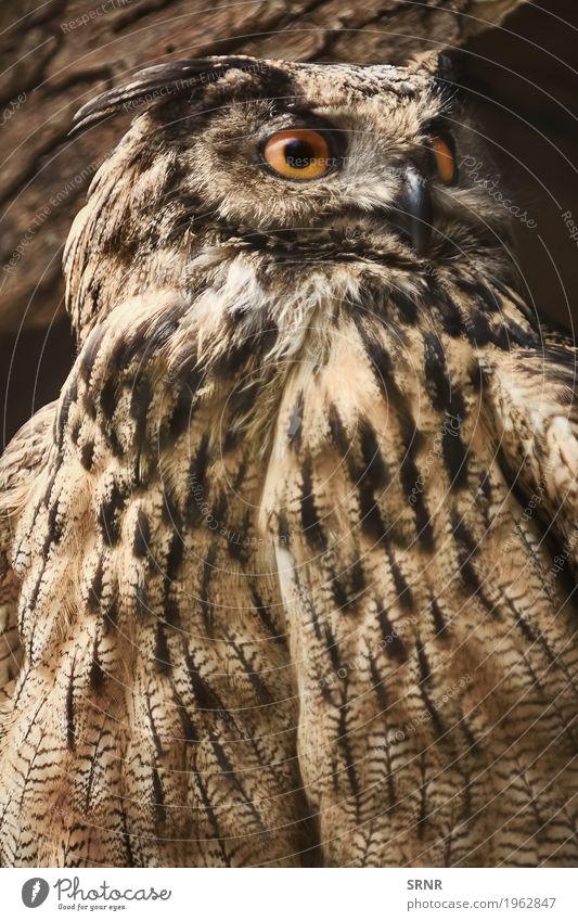 Eule blickt in Richtung Tier Vogel wild Wildtier Feder beobachten Schnabel Ornithologie Greifvogel Fleischfresser Waldohreule
