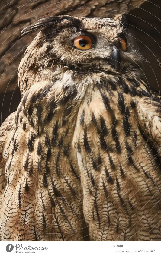 Eule blickt in Richtung Tier Wildtier Vogel 1 beobachten wild Vogelwelt Schnabel groß Greifvogel Vogelbeobachtung Fleischfresser fleischfressend Auge Fauna