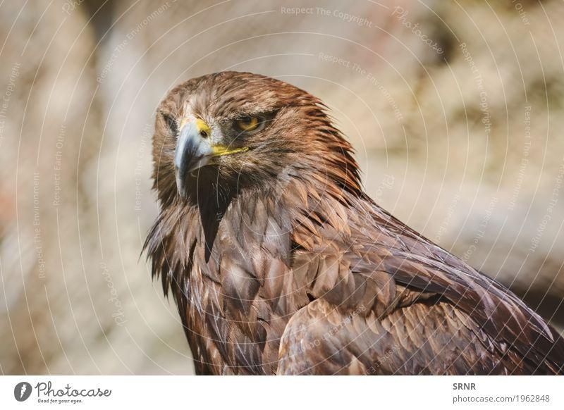 Porträt von Adler Natur Tier Wildtier Vogel 1 wild braun accipitridae achtsam Vogelwelt Schnabel Biest groß Geldscheine Greifvogel Vogelbeobachtung dunkelbraun