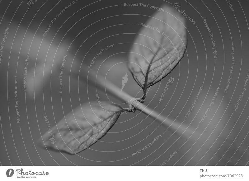 Blatt Natur Pflanze Sommer ruhig Winter schwarz Frühling Herbst Bewegung natürlich grau Design träumen elegant ästhetisch