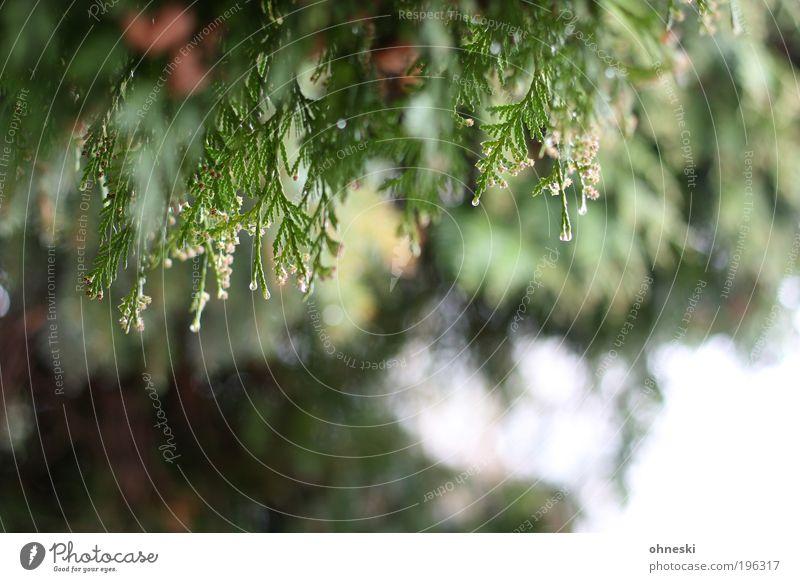 Ab in die Hecke Natur grün Pflanze Regen Umwelt Sträucher Baum Zypresse