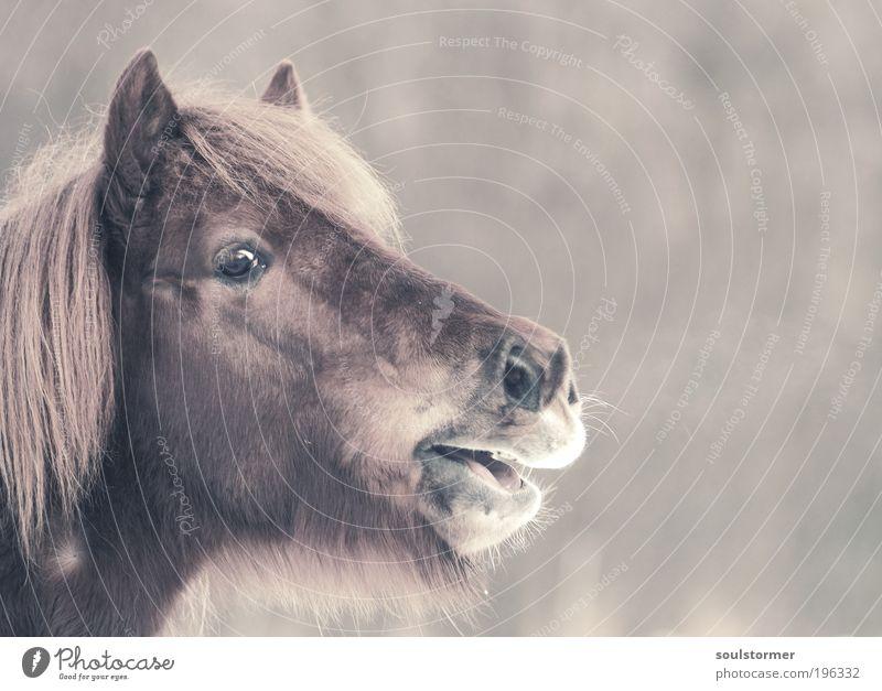 Der Ruf nach Freiheit Natur Einsamkeit Tier Traurigkeit Pferd Tiergesicht schreien atmen Sorge Nervosität Zukunftsangst Nutztier Angst Cross Processing