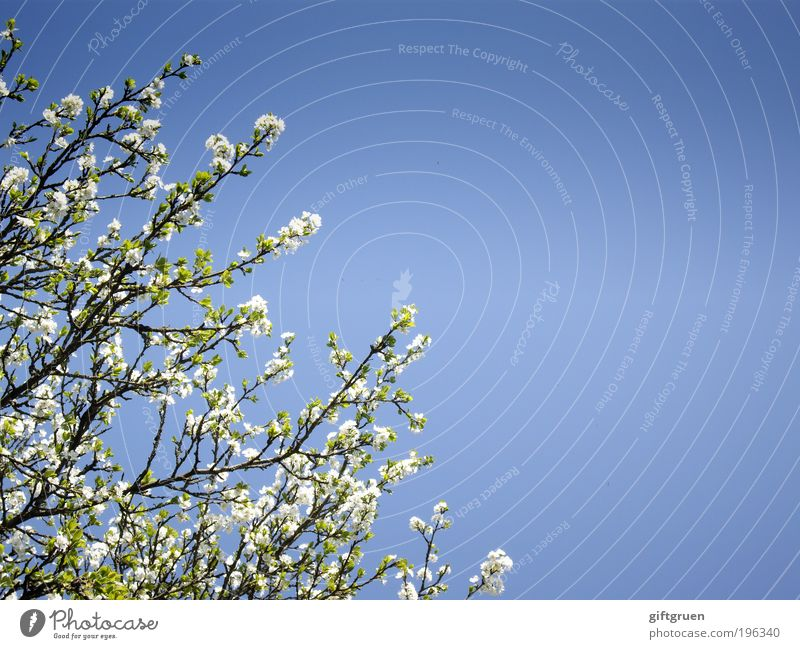 amidst flurrying cherry blossoms Frucht Kirsche Umwelt Natur Pflanze Himmel Wolkenloser Himmel Sonne Frühling Schönes Wetter Baum Blatt Blüte Nutzpflanze